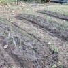 畑にタマネギを植えました