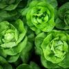 【レシピあり】レタスの栄養素知ってる?野菜の知識を付けて健康になろう!