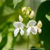 白花豆の花が綺麗に咲いていました。