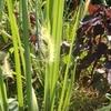 岩倉市自然生態園と自然農(2019/8/10)ウバユリ/カクレミノ/オクラ