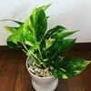 お気に入りの観葉植物が届きました。