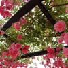 #12  ミラーレスカメラで薔薇と紫陽花を撮ってみた📷🌹