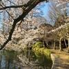 善福寺公園は桜満開