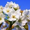 春、雨、そして梨の花