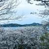 『加布里公園』の桜