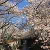 【速報】目黒川の桜 開花状況【2018年3月30日】