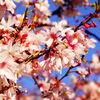 今年の桜、早く咲きすぎなんじゃねって話