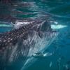 セブ島でジンベイザメと泳ぐなら、ダイビングよりもシュノーケリングをオススメするたった1つの理由