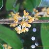 今咲くキンモクセイ,金木犀Osmanthus fragrans var. aurantiacus