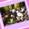 サンスベリアの葉挿しして半年ほど経過し、新芽が出てきました