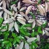 サンゴジュの2種類の葉