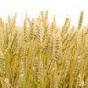 イオンのオーガニック商品が想像以上にすごかった件③~パスタ編~デュラム小麦のセモリナって?