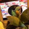 小桜インコの「さくら」インコ・iPadで自分の姿を鑑賞してみた