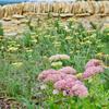 宿根草:セダム・オータムジョイ