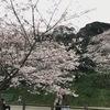 桜開花情報 パート2