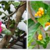 今朝は今冬初めての積雪になった  ツバキやナンテンに白い雪が積って美しい