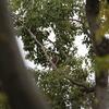 市民の森でハイタカ 2羽(大阪城野鳥探鳥 20191206 6:30-12:35)
