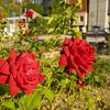 【一日一枚写真】赤薔薇 Part.4【一眼レフ】