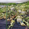 マルセイユメロンの収穫