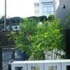 5か月で急成長しま植栽シマトネリコ