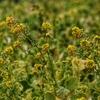 手賀沼周辺の菜の花