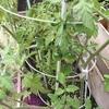 男の家庭菜園シリーズ22