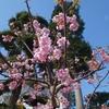 ミモザ・ガーデンの日記  早咲きの桜