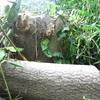 気になる木・ヌルデの木?