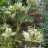 ホワイトレース・ネモフィラ・ギリアの種取りと夏に咲く花