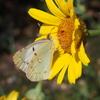 ネズミモチに遊びに来る蝶達&伯方の塩で小梅を漬け込む&一句一遊15周年記念特番「垣根なき十七音」♪