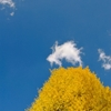 秋の公孫樹