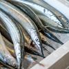 2020年4月17日 小浜漁港 お魚情報