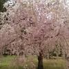 奈良国際フォーラムの庭園の桜