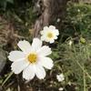 白いコスモス(秋桜)