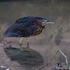 ベリーズ 散歩道の Green Heron (グリーン ヘロン)