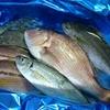 マダイや尺超えアジなど天然の鮮魚が激安価格・・・だと!? / 愛媛県愛南町の漁協から届いた玉手箱を開けたら鮮魚祭りに発展した話
