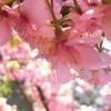 【写真】桜とカモが春を告げた【春写真を撮ってみた】