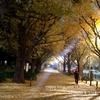 【夜ぽ♪】紅葉の銀杏並木