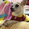 保護犬を飼う、ということ。ペットショップが無くなればいいと思う反面保護犬は大変ということ。
