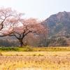 【新潟写真】布目夫婦桜 2020年4月4日