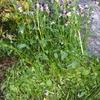 種を残そうとする自然と植物の不思議、ビオラ、菜の花