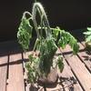トマトは水が切れるとスグに萎れる