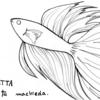ベタ(Betta)【魚ぬり絵】