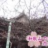 和歌山で20日に桜の開花を発表!近畿一番乗り!!