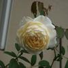 10月終盤のバラ