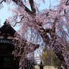 日朝寺の桜