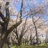 【山形県・山形市】満開!『霞城公園』でお花見をしてきました(*^^*)