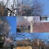 春のうららの隅田川テラス、人形町・浜町あたり・・・桜、点描