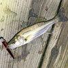 シーバス釣り 大きいサイズは海へ行ったのかな・・・
