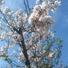 4月5日 うちの桜と家庭菜園
